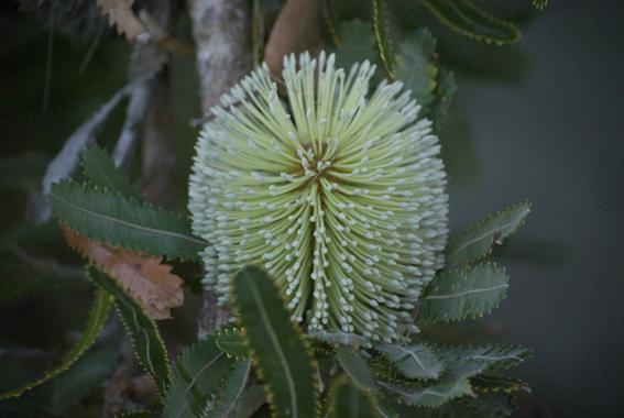 Creamy banksia, luscious