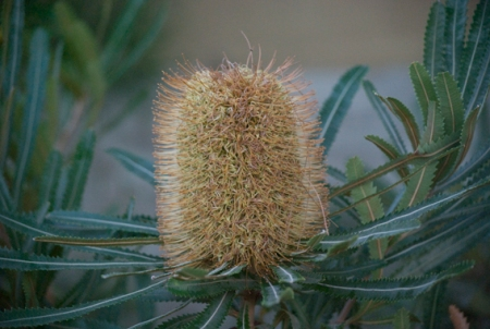 Banksia flower beautiful colours and textures