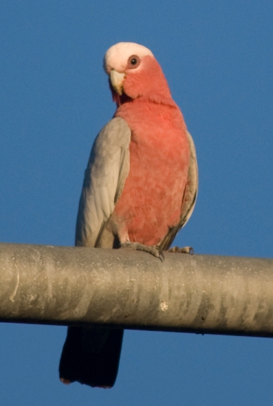 Looks like a young galah, not native to this area, but have found home here.